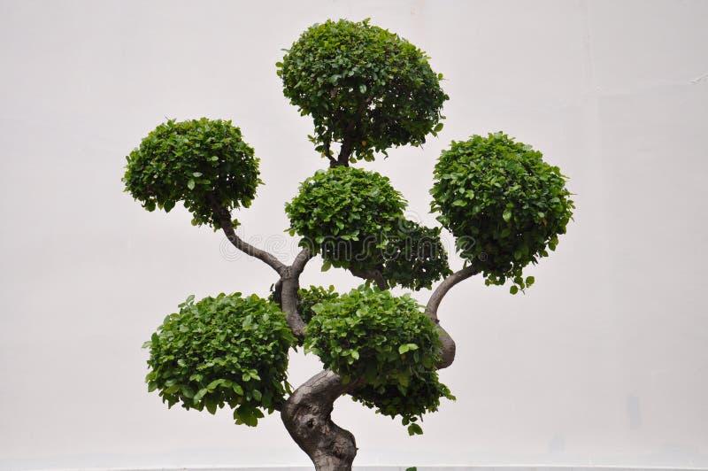 Vista lateral de un árbol de los bonsais del topiary foto de archivo