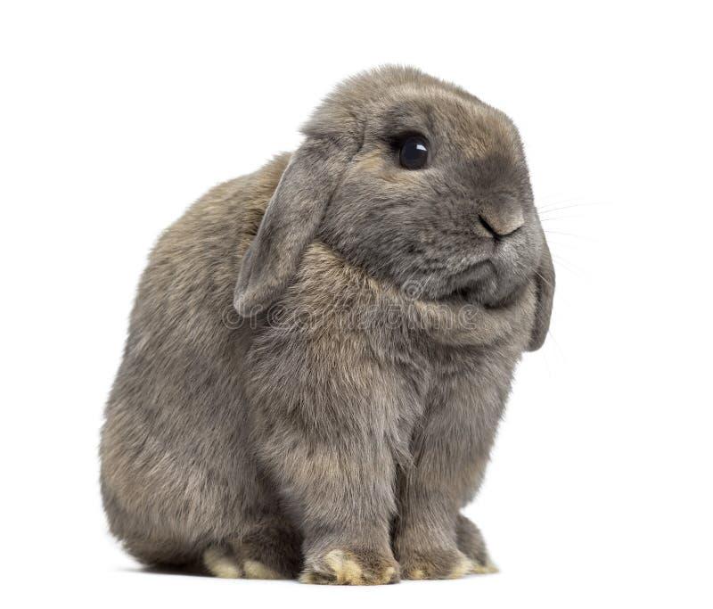 Vista lateral de un conejo de Holland Lop aislado en blanco imagen de archivo libre de regalías