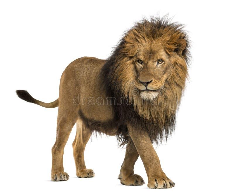 Vista lateral de un león que camina, Panthera Leo, 10 años foto de archivo libre de regalías