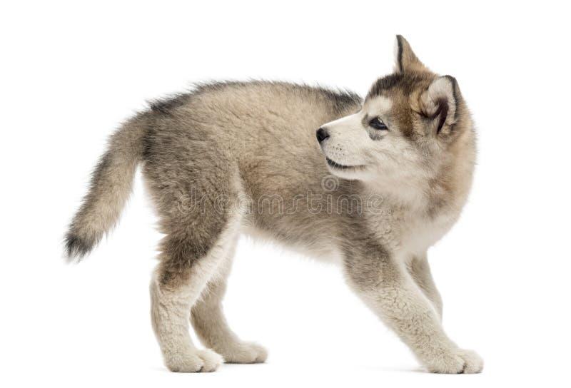 Vista lateral de un perrito del Malamute de Alaska que mira detrás foto de archivo