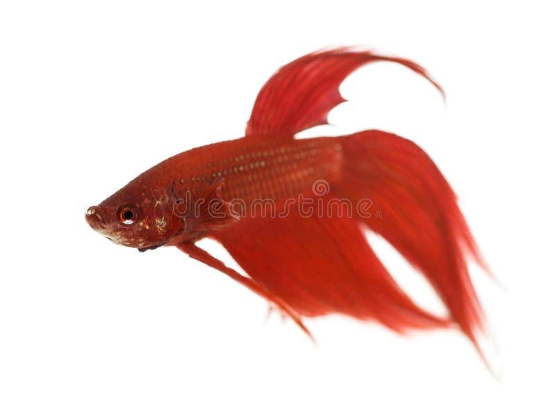 Vista lateral de un pescado que lucha siamés, splendens de Betta imagen de archivo