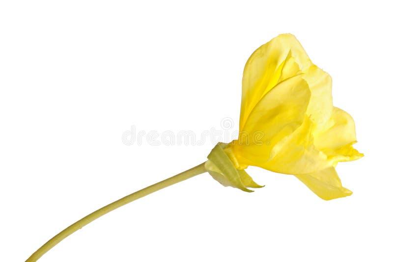 Vista lateral de un tronco con una sola flor amarilla brillante del macrocarpa del Oenothera de la onagra de Missouri aislada con imagen de archivo libre de regalías