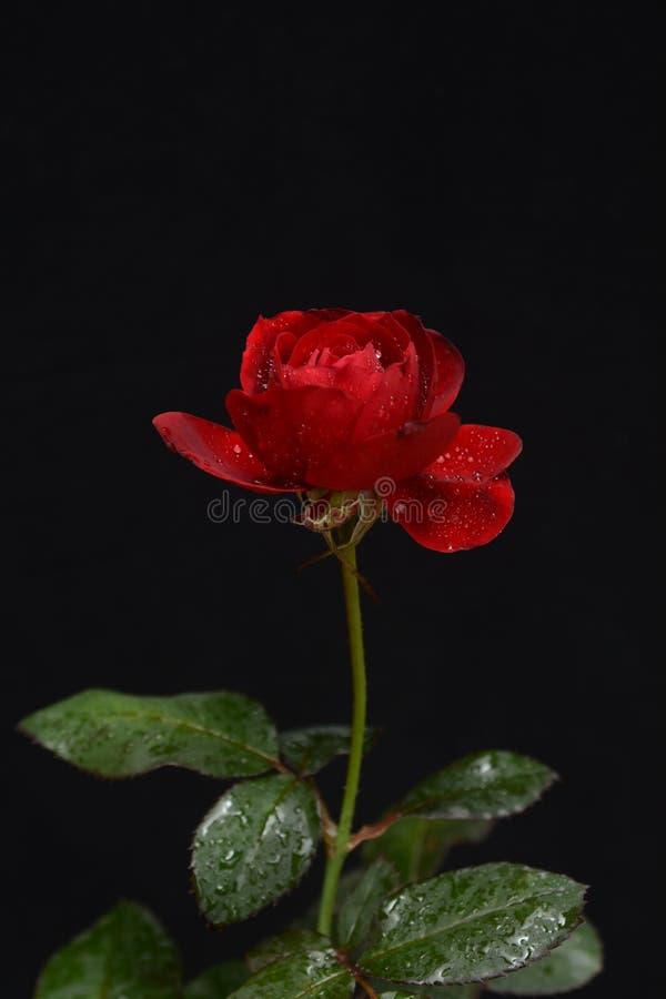 Vista lateral de una Rose roja hermosa en un fondo oscuro imagen de archivo libre de regalías