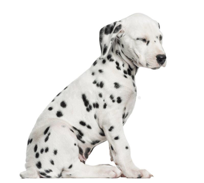 Vista lateral de una sentada dálmata del perrito, cansado, aislada foto de archivo