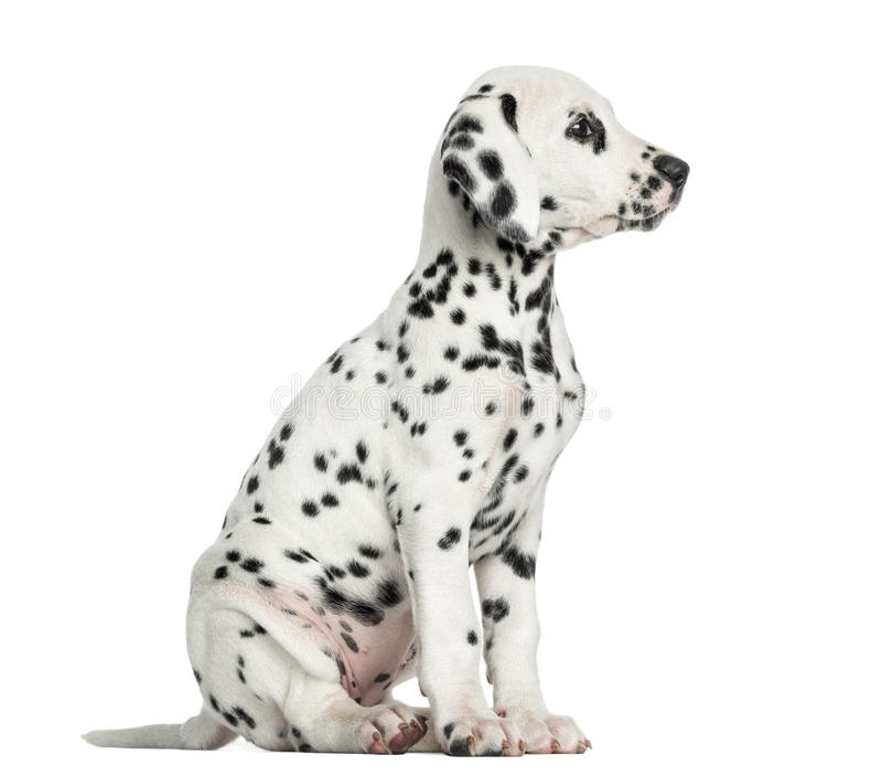 Vista lateral de una sentada dálmata del perrito, mirando lejos, aislada imagen de archivo libre de regalías