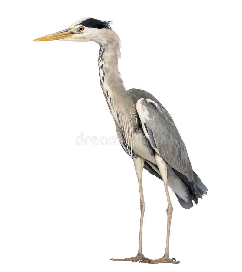 Vista lateral de una situación de Grey Heron, Ardea Cinerea imagen de archivo libre de regalías
