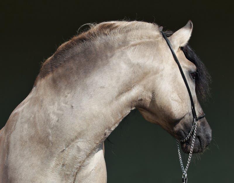 Vista lateral del caballo gris que muestra el cuello muscular fuerte foto de archivo