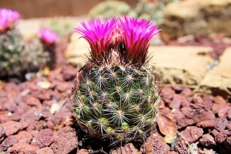 Vista lateral del cactus del acerico con las flores imagen de archivo