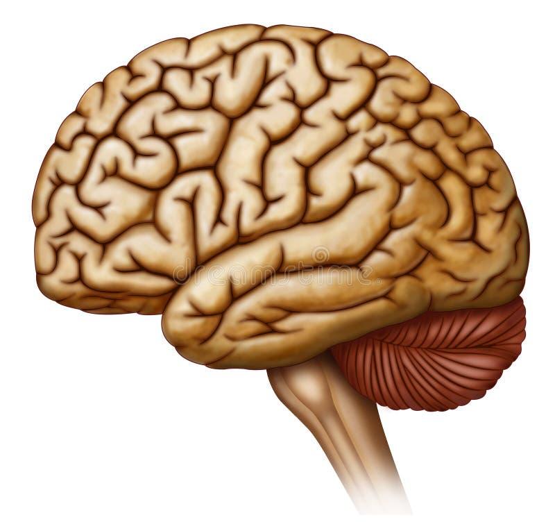 Vista lateral del cerebro humano stock illustration