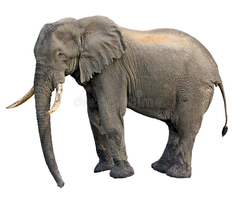 Vista Lateral Del Elefante Imagenes de archivo