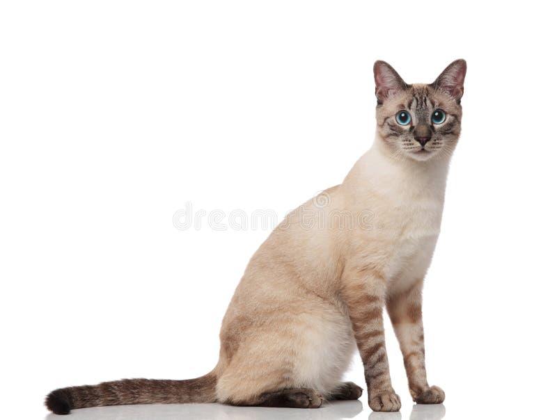 Vista lateral del gato gris lindo de los metis con sentarse fotografía de archivo