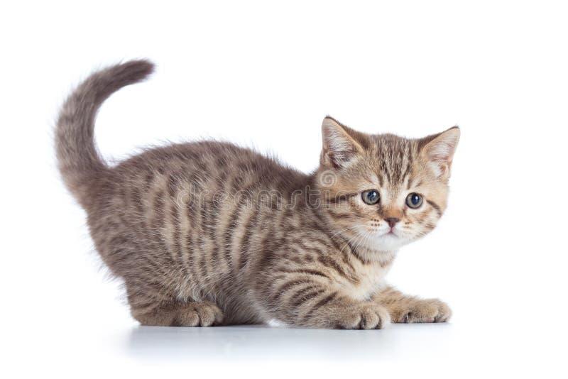 Vista lateral del gato del perfil escocés del gatito imagenes de archivo