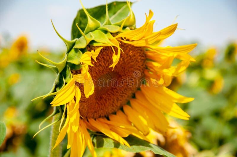 Vista lateral del girasol floreciente hermoso con los pétalos amarillos desaliñados y las hojas afiladas verdes frescas Cabeza ar imagen de archivo libre de regalías