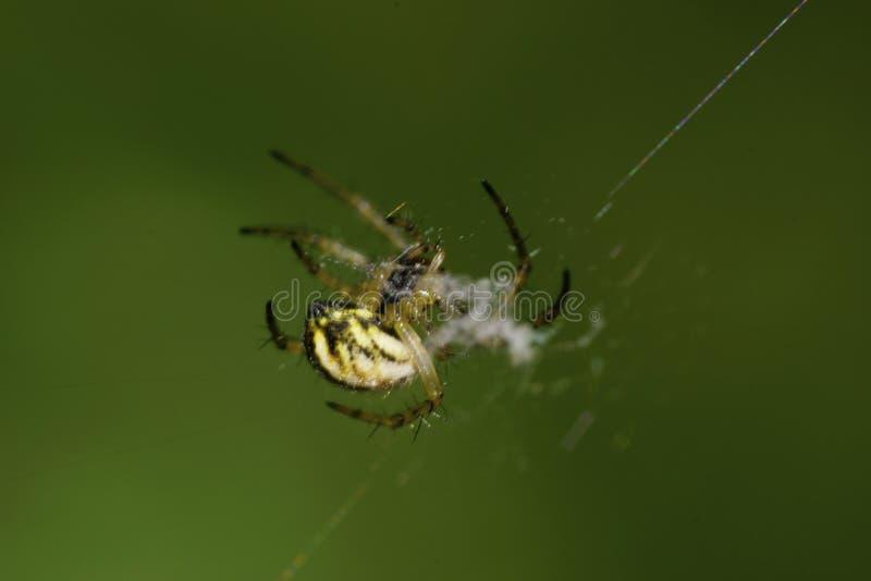 Vista lateral del primer de la araña joven caucásica joven del Araneus en GR imagen de archivo libre de regalías