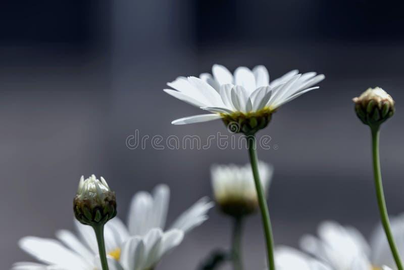 Vista lateral del primer de las flores de la margarita blanca en contraluz imagen de archivo libre de regalías