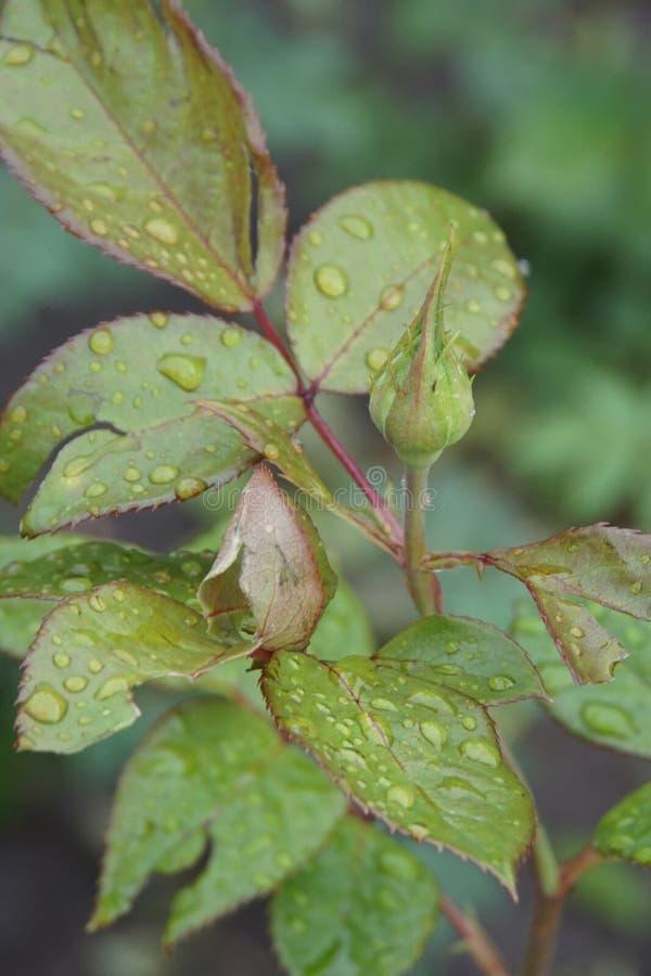 Vista lateral del primer de un brote de una rosa con los pétalos después de la lluvia imagen de archivo libre de regalías