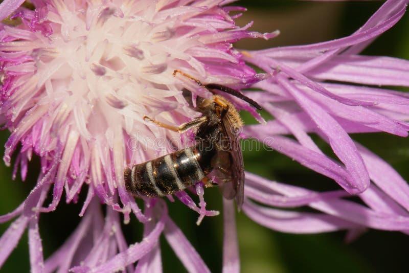 Vista lateral del primer de un pequeño nitidiuscula caucásico de Andrena de la abeja foto de archivo