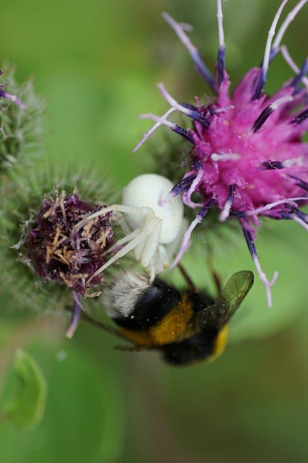 Vista lateral del primer de una araña caucásica floral blanca Misumena a imagenes de archivo