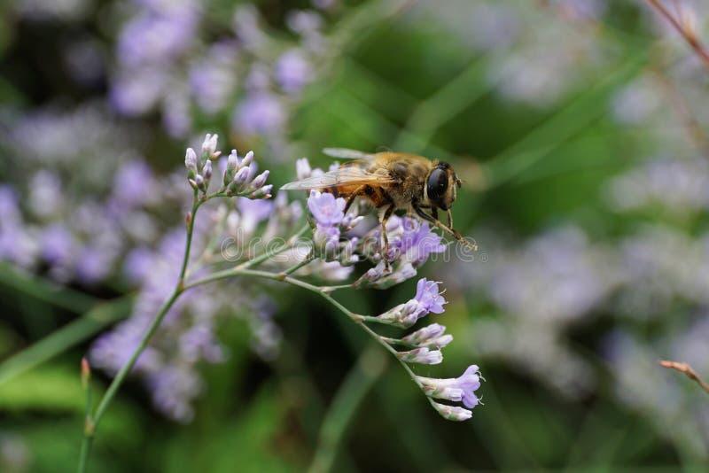 Vista lateral del primer de una mosca de la flor hoverfly del género Eristal imagenes de archivo