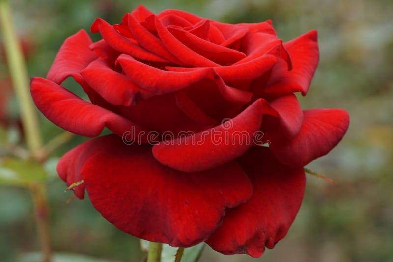 Vista lateral del primer del inflorescencias rojas de los pétalos color de rosa imagenes de archivo