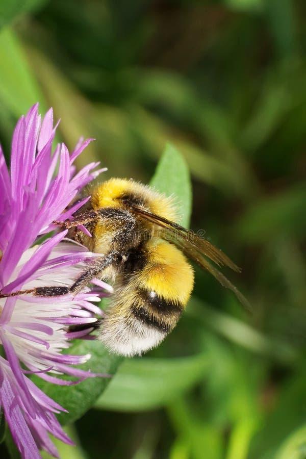 Vista lateral del primer del SE caucásico amarillo-negro del Bombus del abejorro imagen de archivo libre de regalías