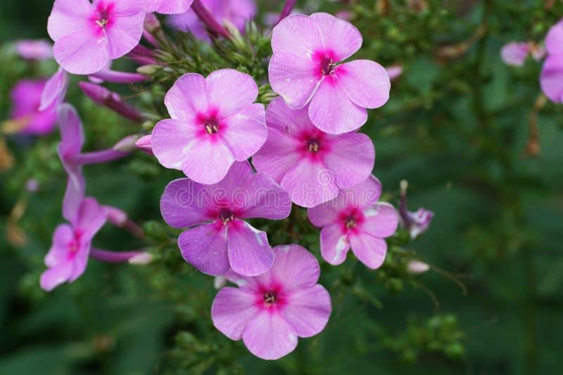 Vista lateral del primer del subulate rosado del polemonio del subulata del polemonio de la flor imagen de archivo libre de regalías