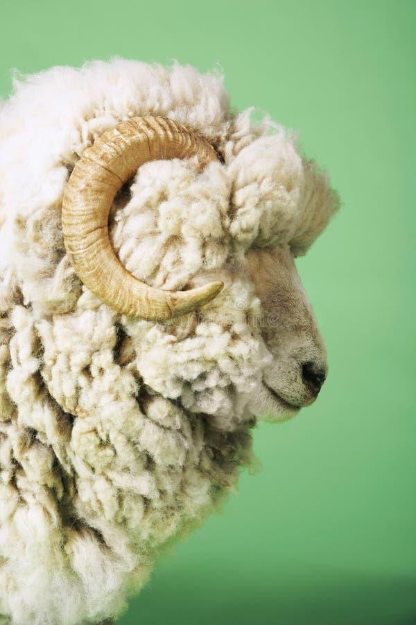 Vista lateral del Ram foto de archivo