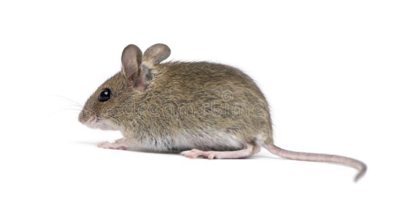 Vista lateral del ratón de madera fotos de archivo