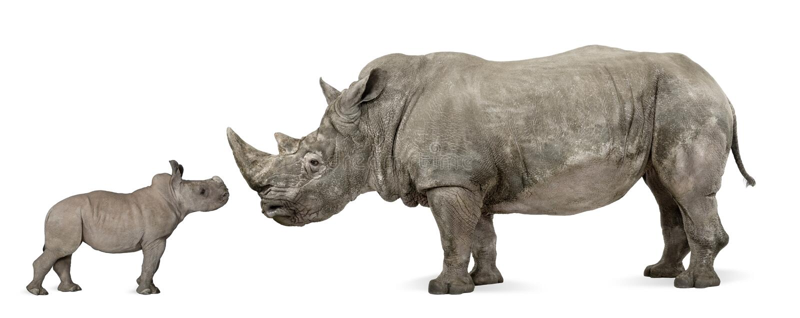 Vista lateral del rinoceronte blanco de la madre y del bebé fotos de archivo libres de regalías