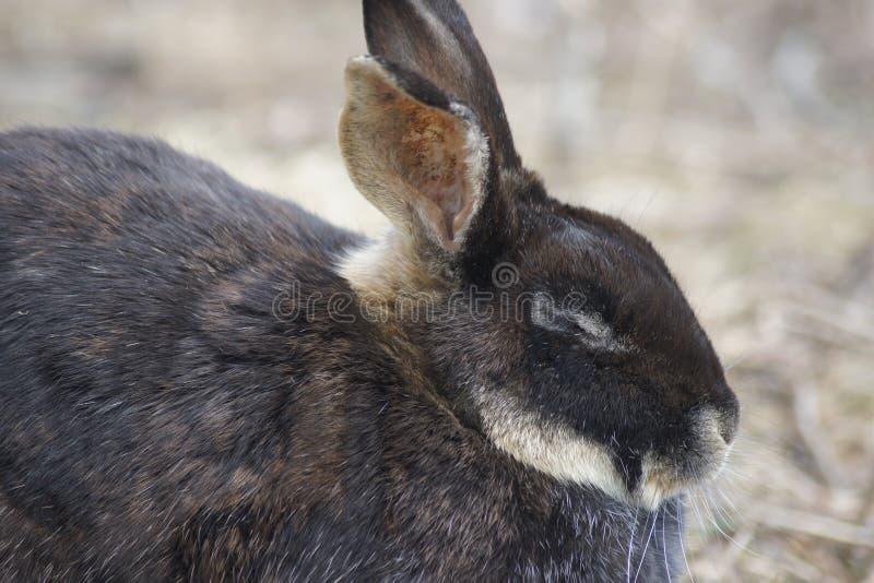 Vista lateral do coelho marrom foto de stock royalty free