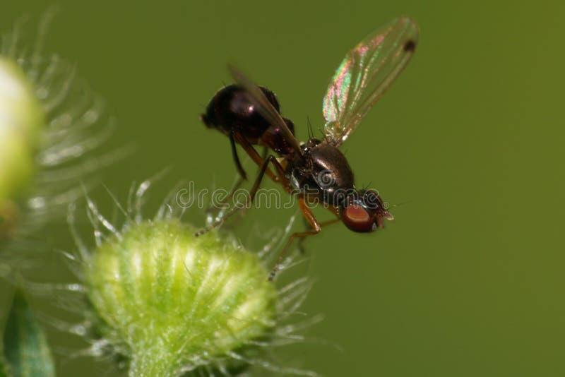 Vista lateral macra hormigas caucásicas negras de las pequeñas de una mosca en un mullido imágenes de archivo libres de regalías
