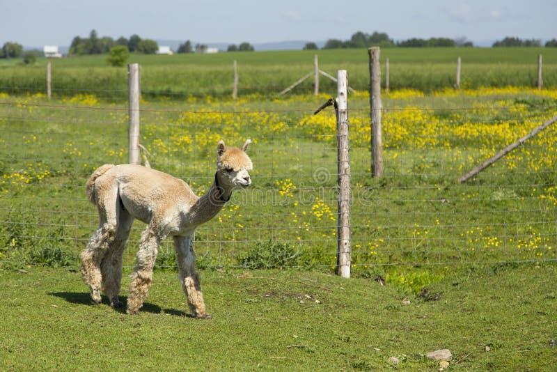 A vista lateral recentemente do pêssego tosquiado bonito coloriu o passeio considerado alpaca no cerco foto de stock royalty free