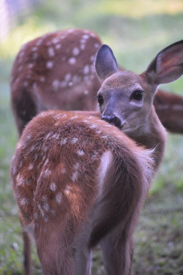 Vista lateral trasera de un ciervo lindo en el salvaje fotografía de archivo libre de regalías