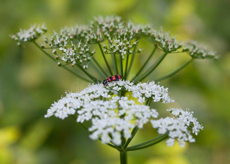 Vista laterale degli scarabei a quadretti sul fiore bianco fotografia stock libera da diritti