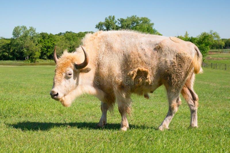 Vista laterale del bufalo bianco raro fotografia stock libera da diritti