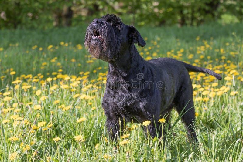 Vista laterale del cane nero gigante dello schnauzer di urlo immagine stock libera da diritti
