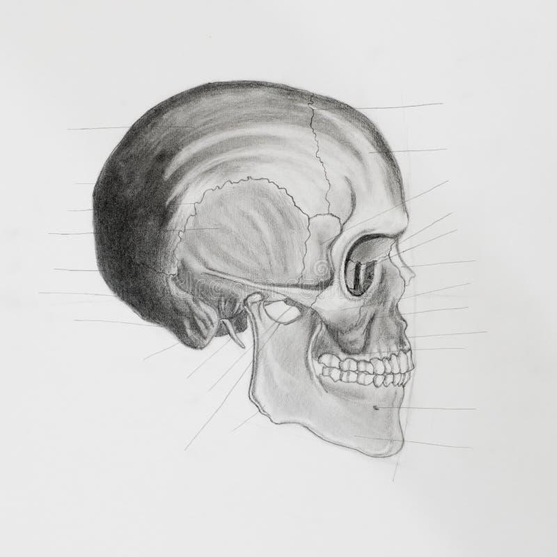 Vista laterale del cranio umano. illustrazione medica illustrazione di stock