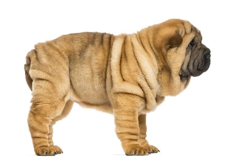 Vista laterale del cucciolo di pei di Shar (vecchio 11 settimana) fotografia stock