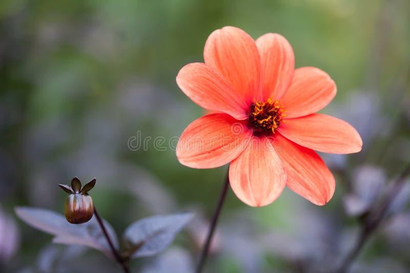 Vista laterale del fiore rosso dell'aster Arte della porcellana del Callistephus immagini stock