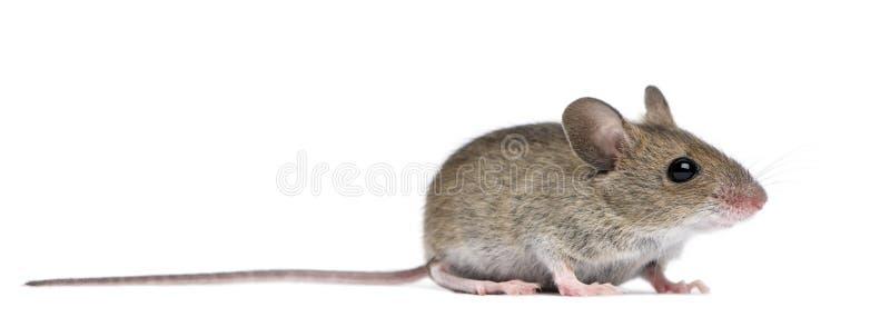 Vista laterale del mouse di legno fotografia stock