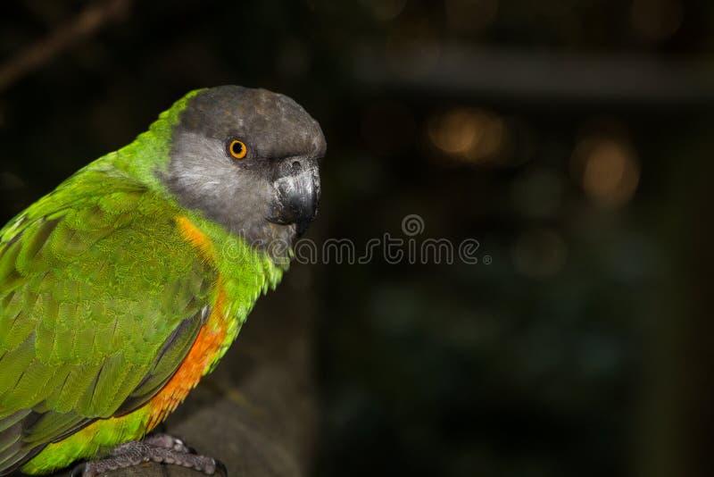 vista laterale del pappagallo di cryptoxanthus dalla testa Brown di Poicephalus all'aperto fotografia stock libera da diritti