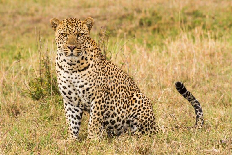 Vista laterale del primo piano del leopardo fotografie stock