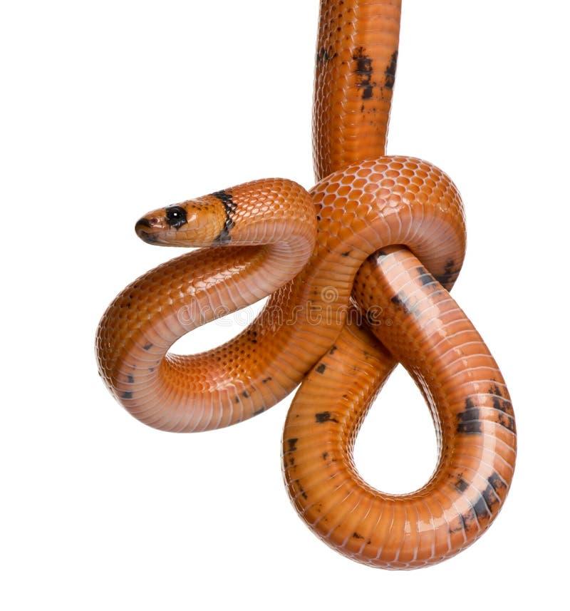 Vista laterale del serpente di latte del Honduran, appendente immagini stock libere da diritti