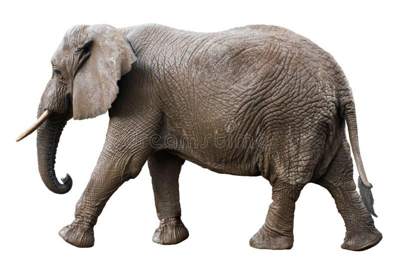 Vista laterale dell'elefante africano isolata su bianco fotografia stock