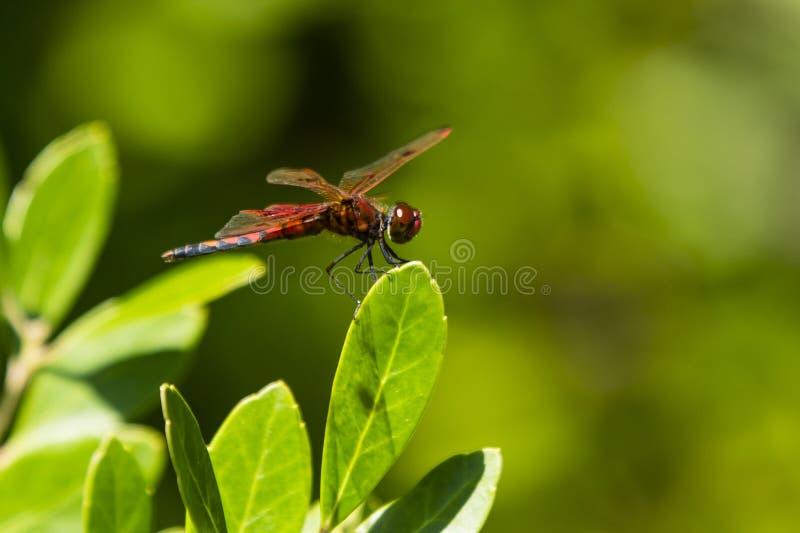 Vista laterale della libellula maschio dello stendardo del calicò sulla foglia immagine stock libera da diritti