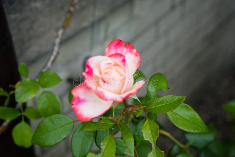 Vista laterale della rosa rosa-rosso di bianco con il muro di cemento immagini stock libere da diritti
