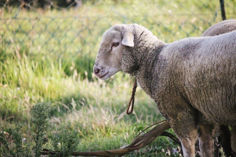 Vista laterale delle pecore bianche sporche tristi con la corda in collo che fissano apprensivo nella macchina fotografica Campo  immagine stock