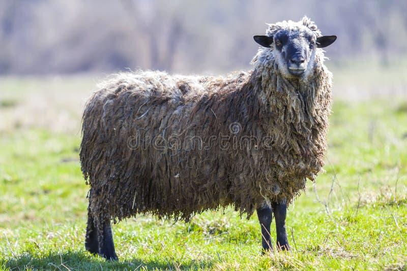 Vista laterale di grandi pecore sane con il vello grigio bianco riccio lungo che sta da solo nel campo erboso verde che guarda fi fotografie stock