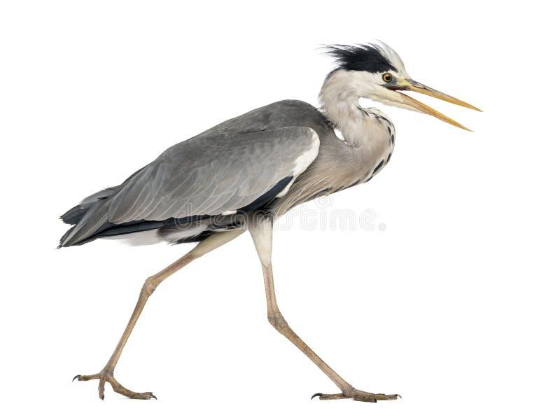 Vista laterale di Grey Heron che cammina, gridante, ardea cinerea fotografie stock