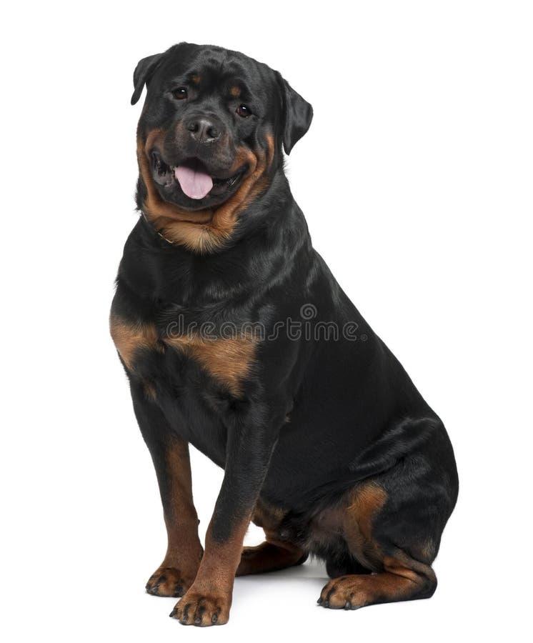 Vista laterale di Rottweiler, di seduta e di ansimare fotografia stock libera da diritti